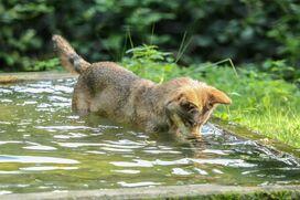 Ein junger Wolf planscht in einem Naturbecken