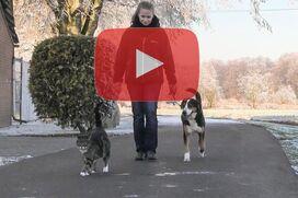 Ein Appenzeller Sennenhund läuft an lockerer Leine hitner einer Katze.