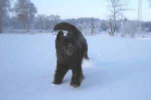 Neufundländer Lohmann tobt unangeleint im Schnee.