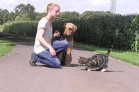 Ein Airedale Terrier sitzt gelassen zwischen einer Frau und einer Katze.