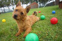 Ein junger Australian Terrier liegt zwischen bunten Bällen auf einer grünen Wiese.