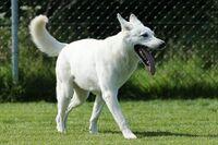 Ein Weißer Schweizer Schäferhund läuft über eine grüne Wiese.