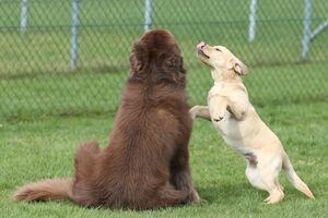 Ein blonder Labradorwelpe beschwichtigt einen erwachsenen Neufundländerrüden.