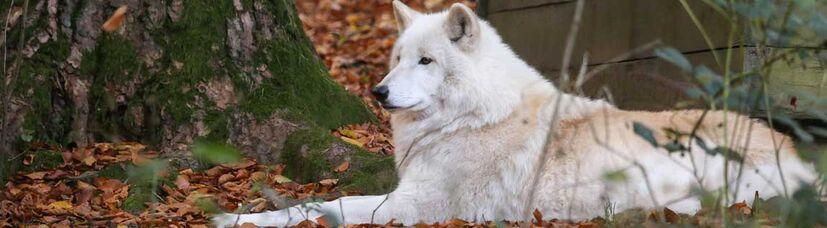 Ein weißer Wolf liegt aufmerksam im Herbstlaub zwischen Bäumen.