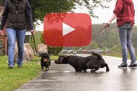 Ein Dackel läuft an lockerer Leine sehr dicht an einem ziehenden Labrador vorbei.