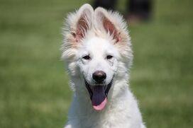 Ein Weißer Schäferhund blickt mit aufgestellten Ohren in die Kamera.