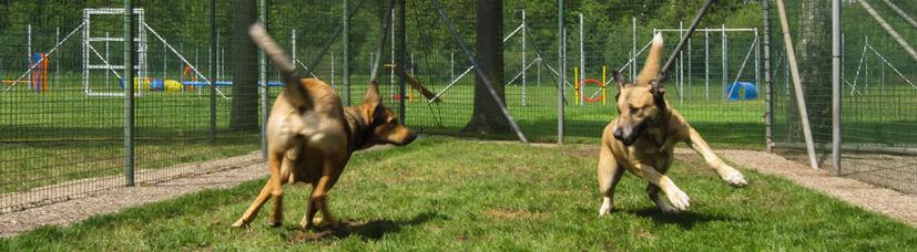 Zwei große Hunde spielen miteinander auf einer Hundewiese.