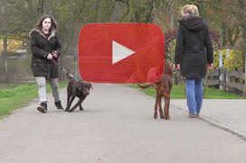 Ein Irish Setter geht an lockerer Leine an einem ziehenden Labrador vorbei.