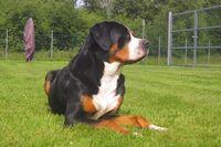 Ein Großer Schweizer Sennenhund liegt auf einer Wiese.