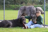 Drei Irische Wolfshunde schmusen mit einer Frau.