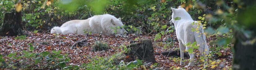 Ein zweiter weißer Wolf nähert sich einem liegenden.