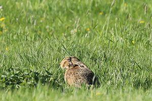 Ein Feldhase sitzt mit zurückgelegten Ohren im hohen Gras.