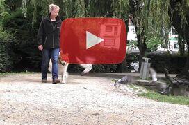 Ein Elo geht an lockerer Leine, während Tauben vor ihm hochfliegen.
