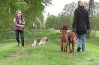 Zwei Rhodesian Ridgeback gehen ordentlich bei Fuß, während ein anderer Hund sie ankläfft.