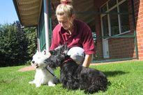 West Highland Terrier und Scotch Terrier aus Wiesbaden und Göttingen