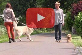 Ein Bolonka Zwetna läuft ohne zu ziehen an einem Hund vorbei.