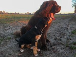 Ein Neufundländer und ein Großer Schweizer Sennenhund-Welpe sitzen nebeneinander.