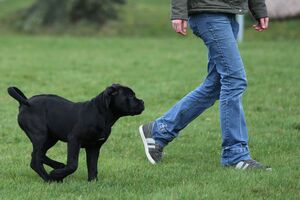 Ein Cane Corso-Welpe läuft ohne Leine neben einem Menschen.