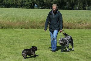 Eine Bulldogge läuft zu einen Labradoodle.