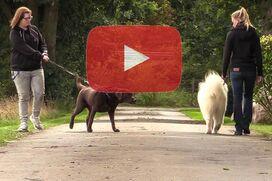 Ein Samojede geht an lockerer Leine an einem ziehenden Labrador vorbei.