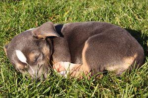 Ein Jack Russell Terrier-Mix-Welpe liegt schlafend im Gras.