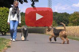 Ein Gos d'Atura geht entspannt bei Fuß, während ein anderer Hund auf ihn zuspringt.