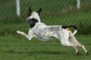 Eine kleine athletische Hündin flitzt voller Energie über den Rasen.