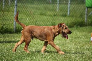 Ein junger Irish Terrier geht über den Rasen.