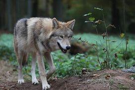 EIn Mongolischer Wolf streift durch den Wald.