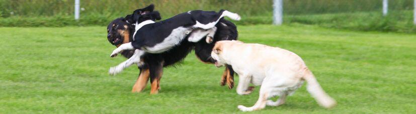 Ausgelassenes Spielen dreier Hunde beim Hundetreff.