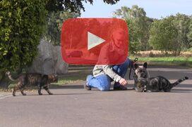 Eine Französische Bulldogge läuft dicht an einer Katze vorbei.