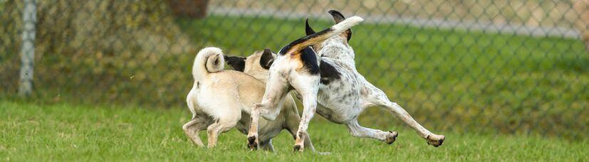 Zwei kleine Hunde rennen ausgelassen über eine Hundewiese.