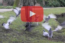 Ein Jack Russell Terrier läuft an lockerer Leine durch hochfliegende Tauben.