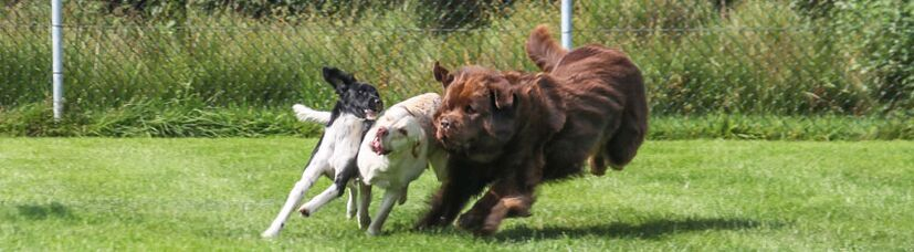 Drei Hunde beim Toben.