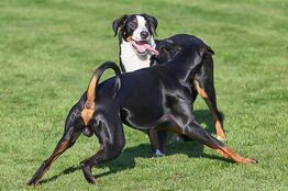 hundepension-unkastrierter-ruede