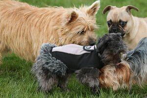 Mehrere kleine Hunderassen spielen miteinander.