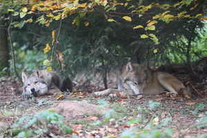 Zwei Mongolische Wölfe liegen unter Bäumen im Herbstlaub.