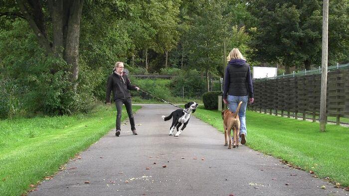Ein junger Boxer geht ordentlich an der Leine, obwohl ein anderer Hund zu ihm zieht.
