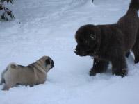Neufundländer Lohmann und Mops Herkules spielen im Schnee.